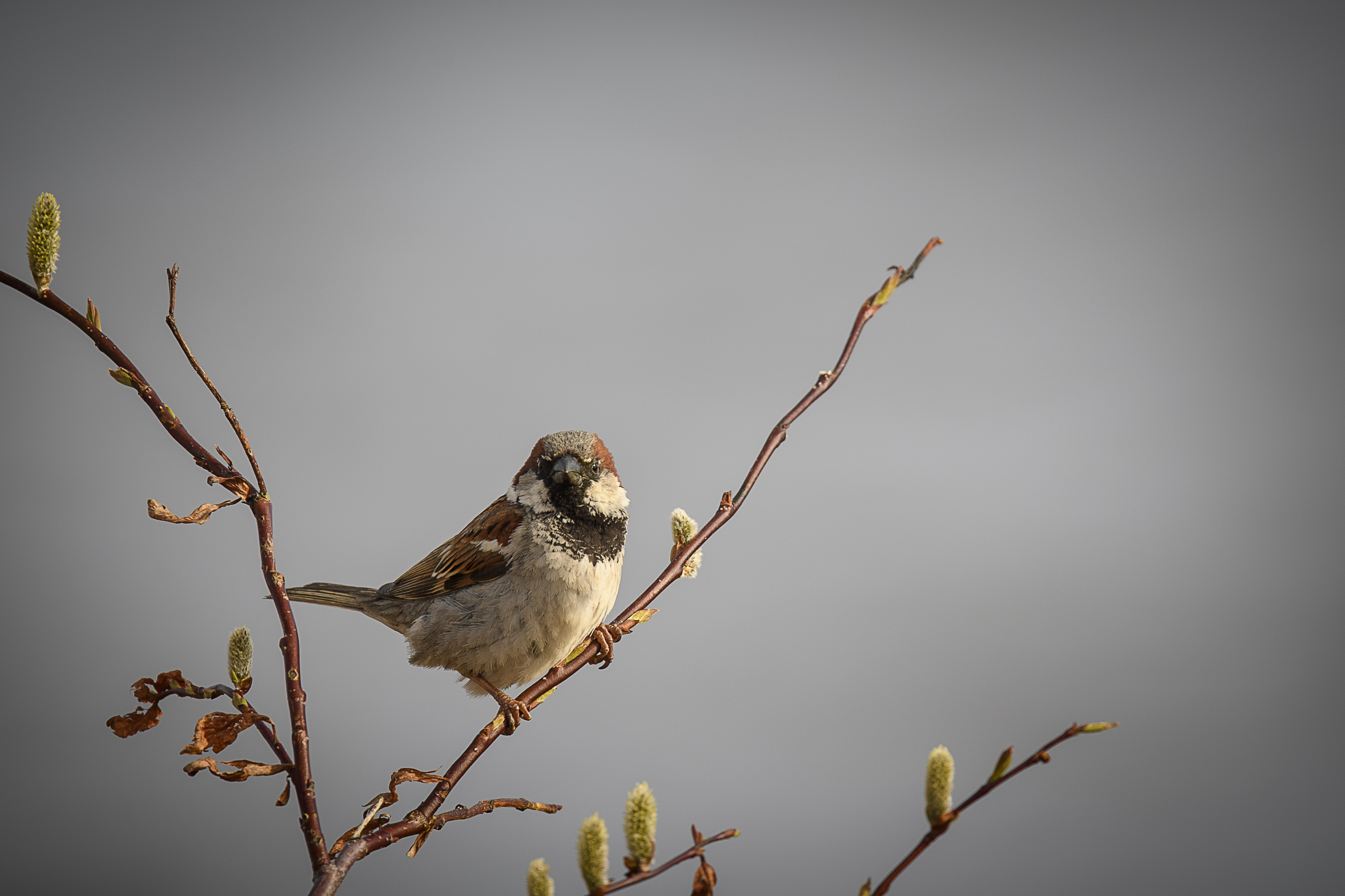House  Sparrow Churchill.jpg