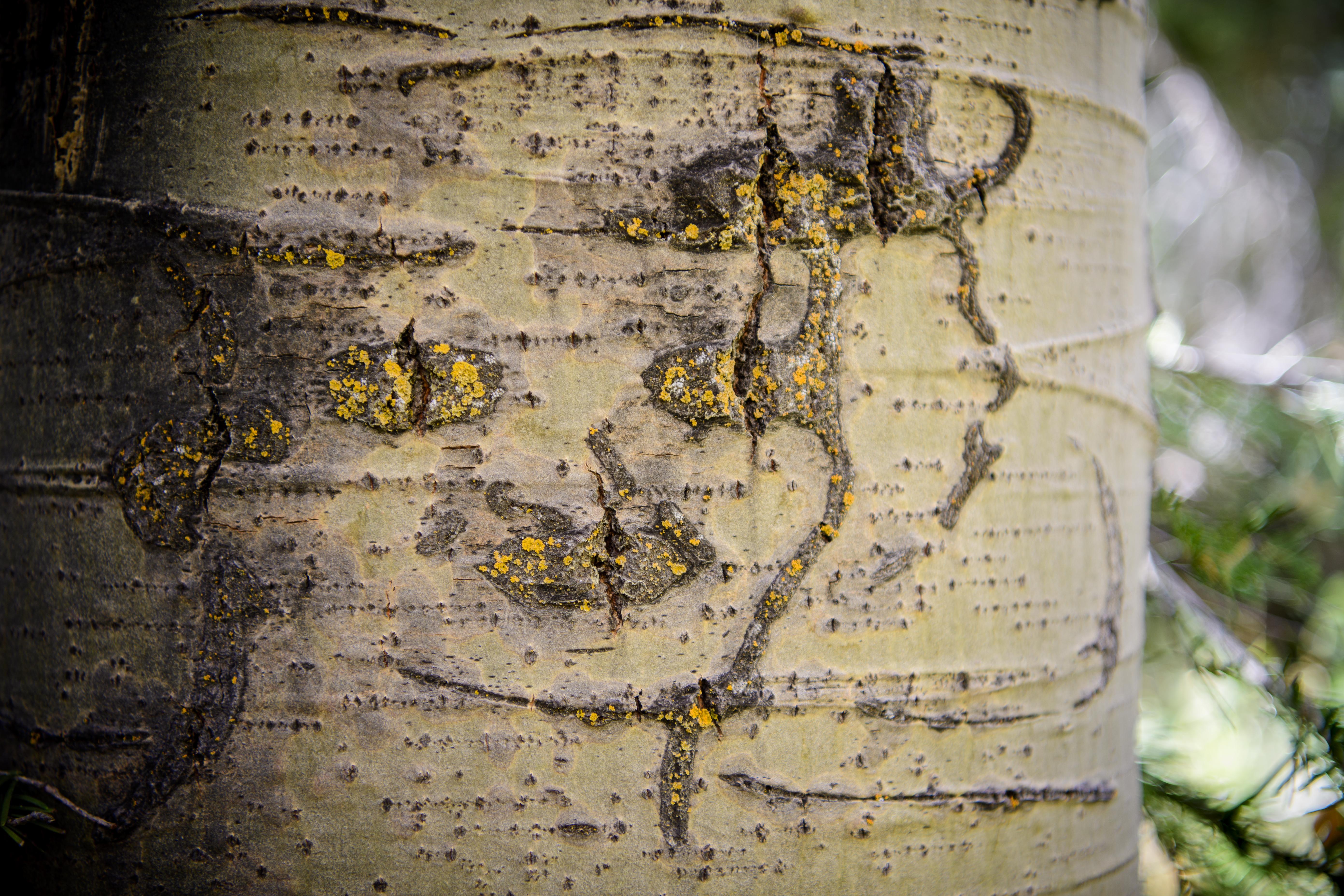 lady face arboglyph