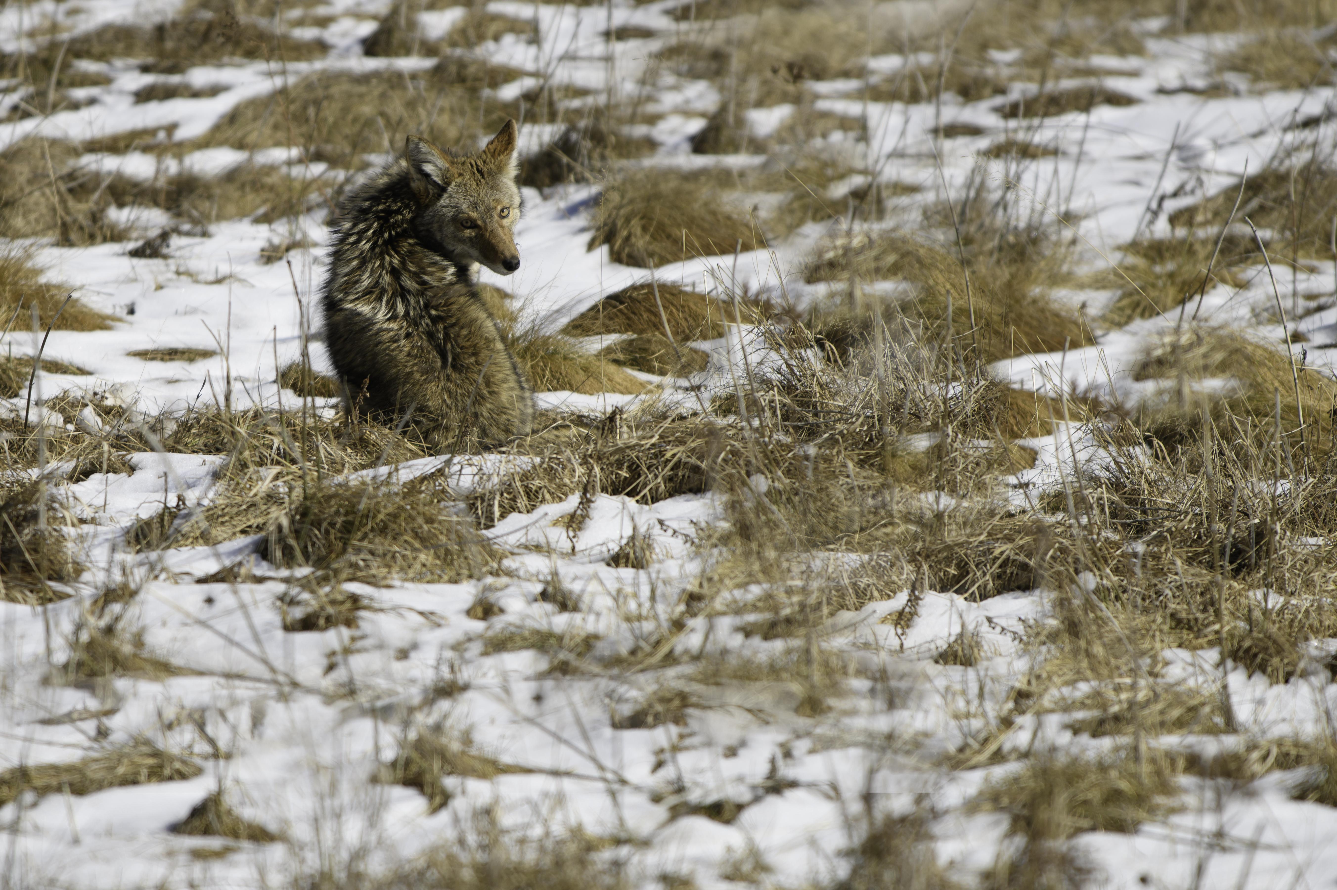 Yosemite coyote.jpg