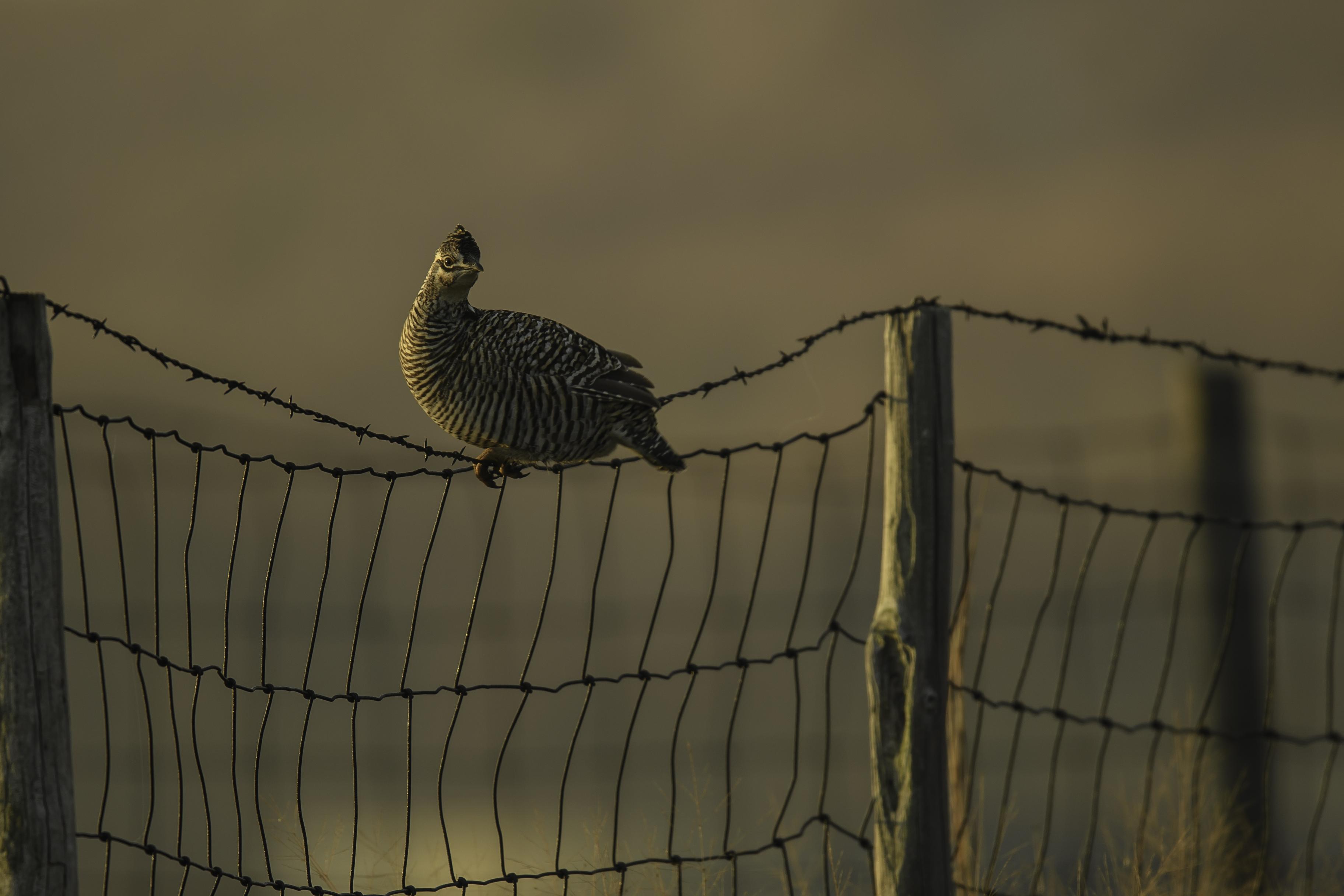 female prairie chic on wire