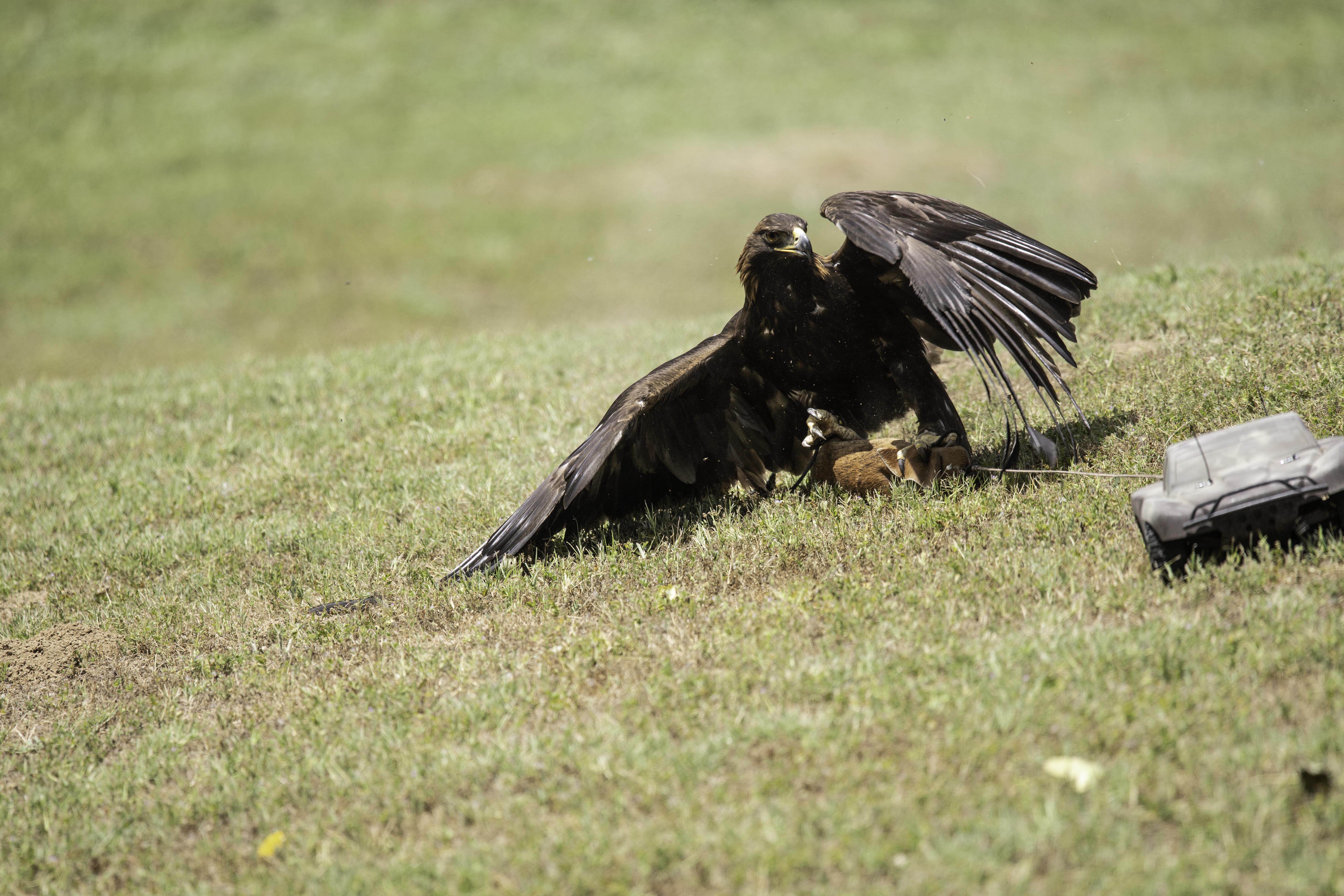 golden eagle car catch 1