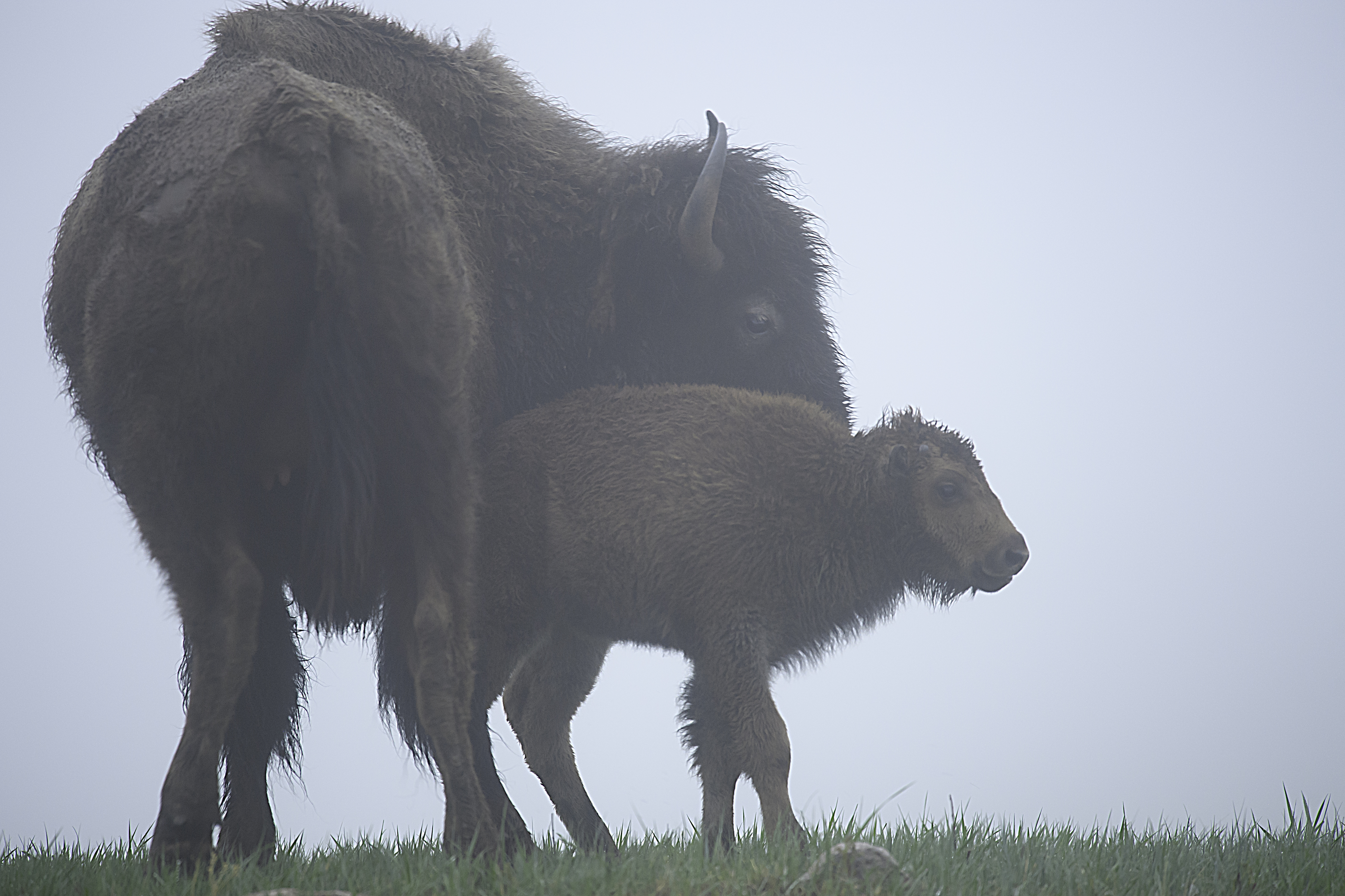 Mama Bison and calf.jpg