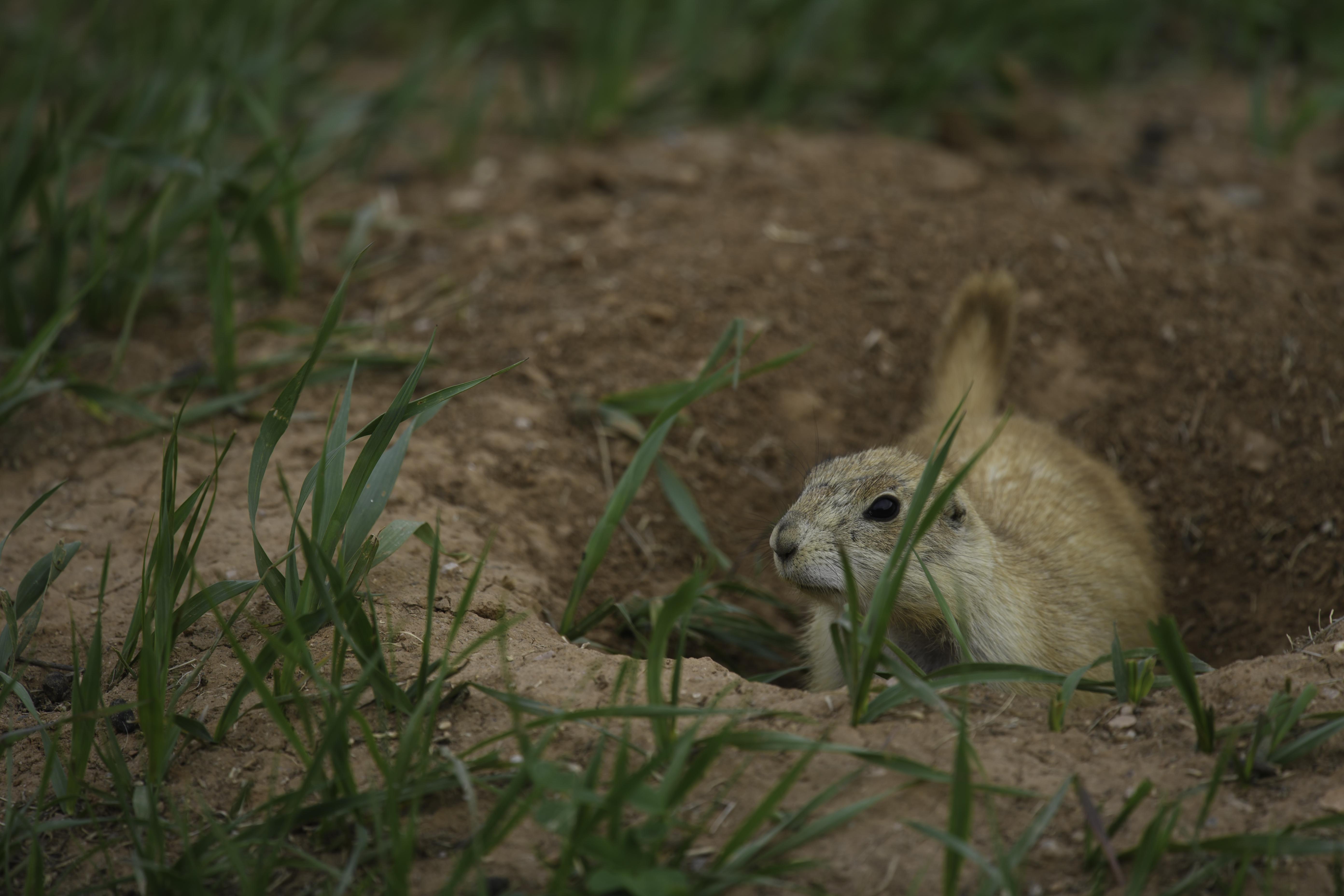 Prairie Dog in burrow