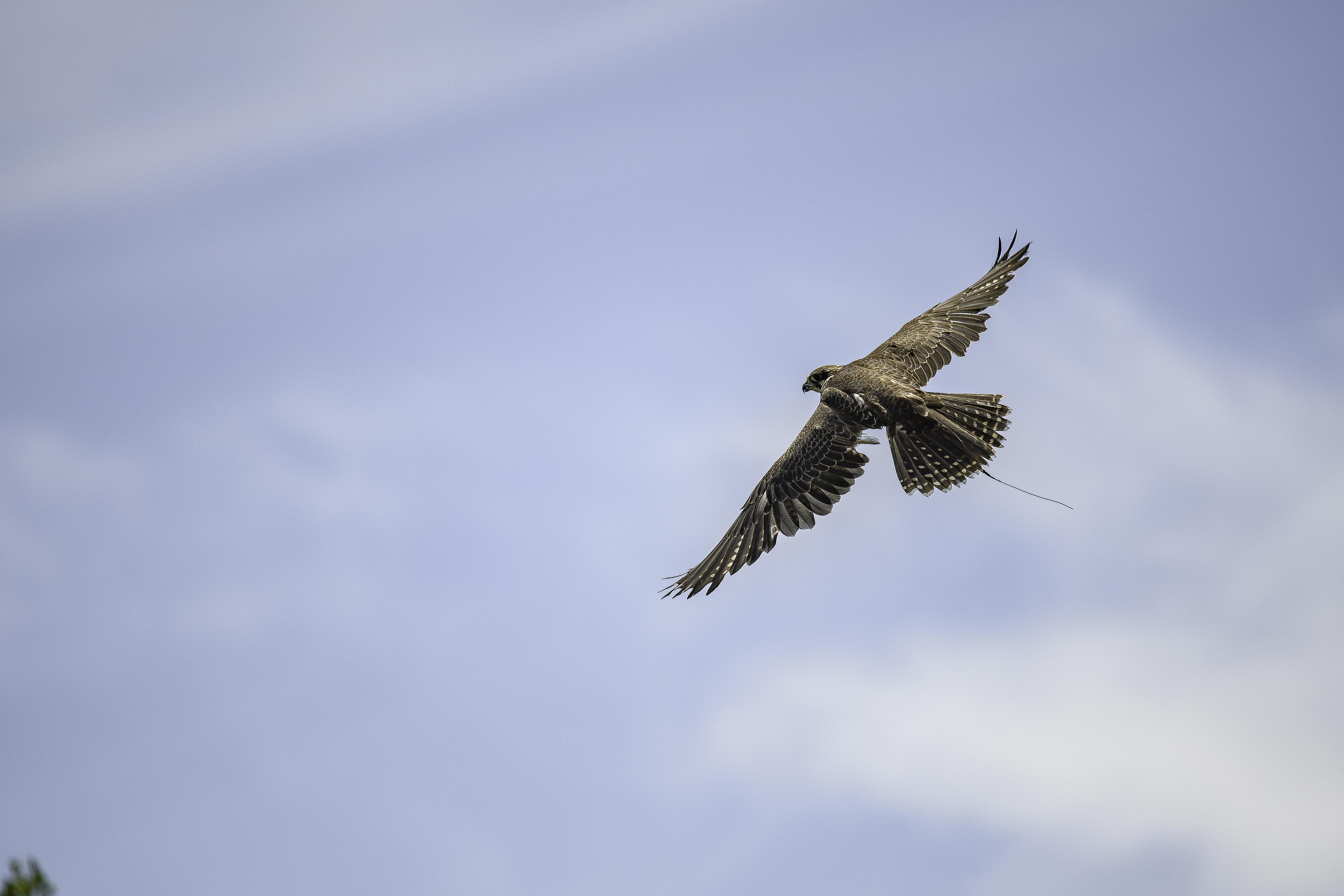 saker falcon flight 1