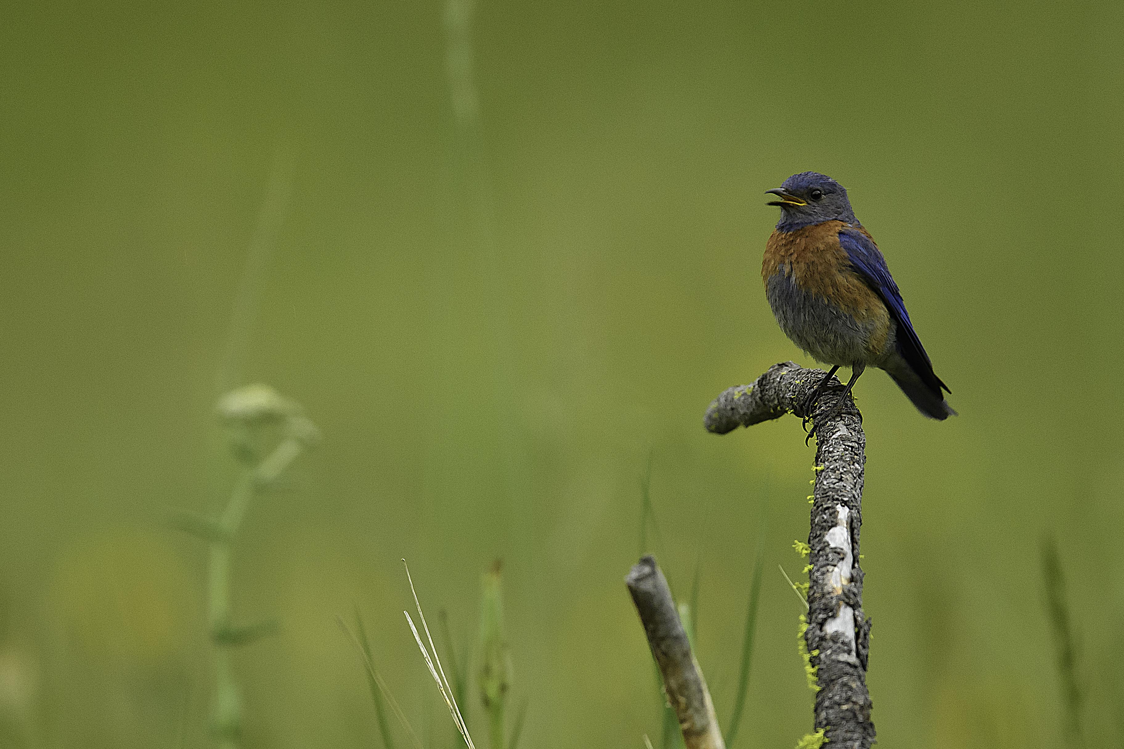 Blue Bird 6 v2.jpg