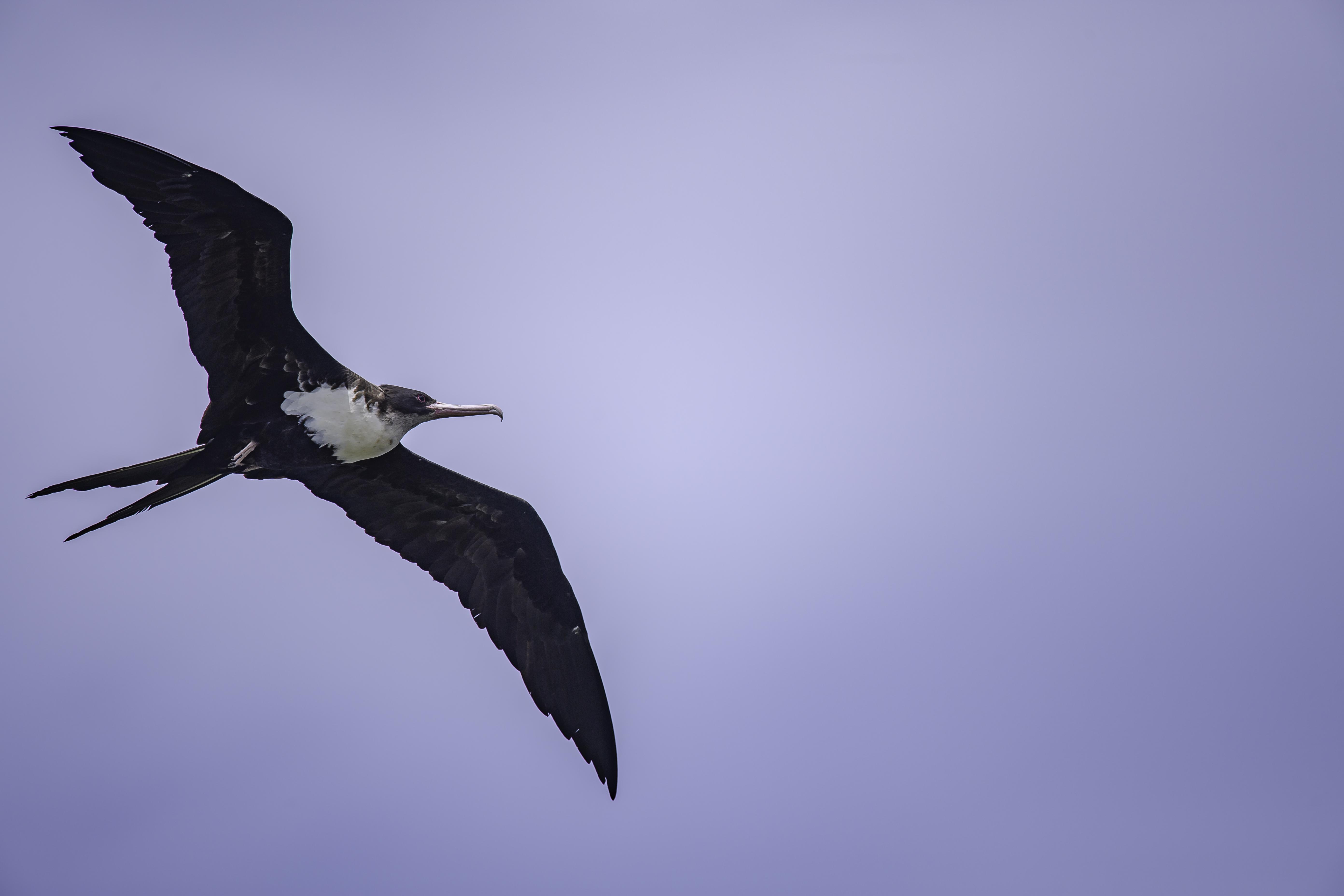 Great Frigate Female