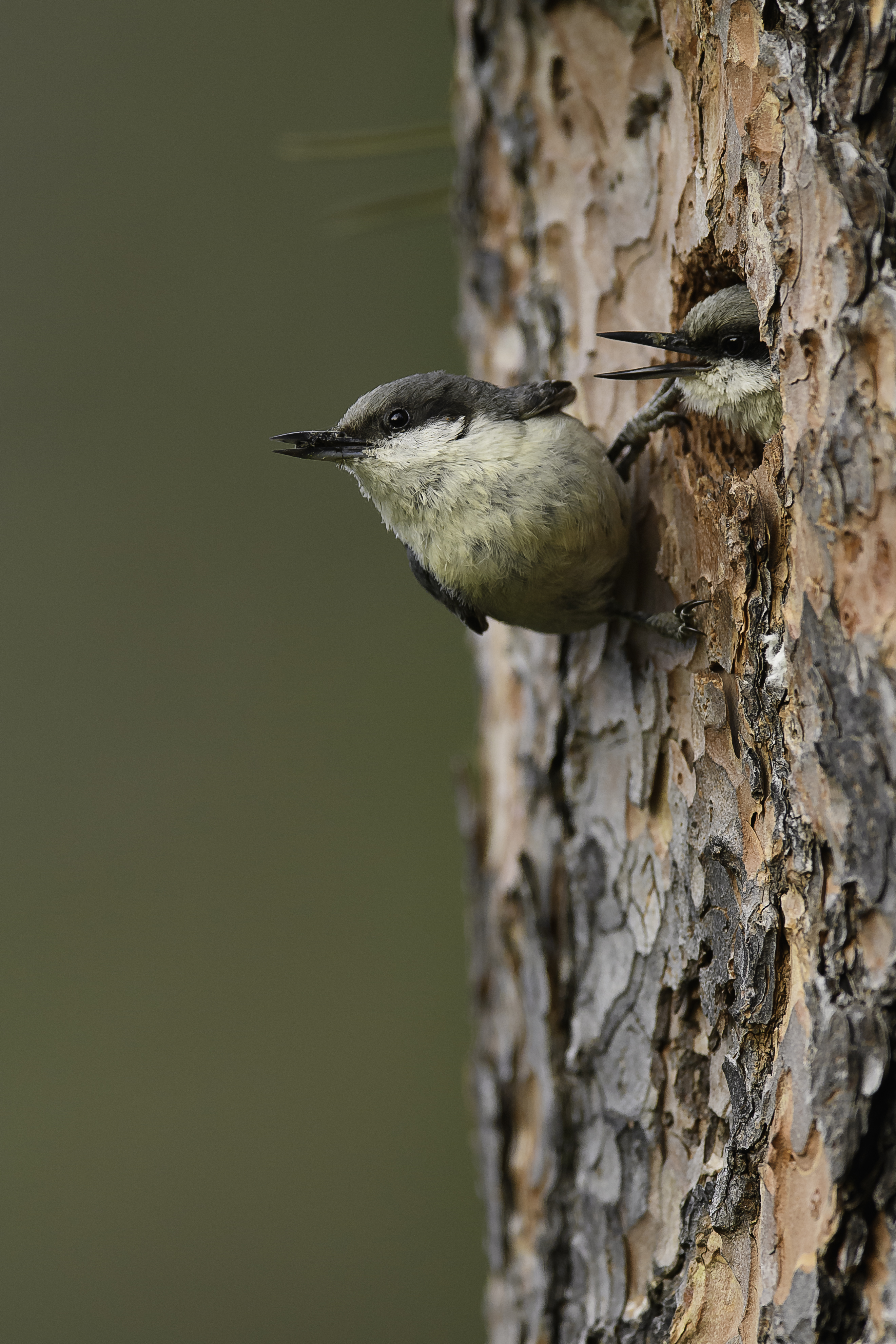Pygmy nuthatch 2