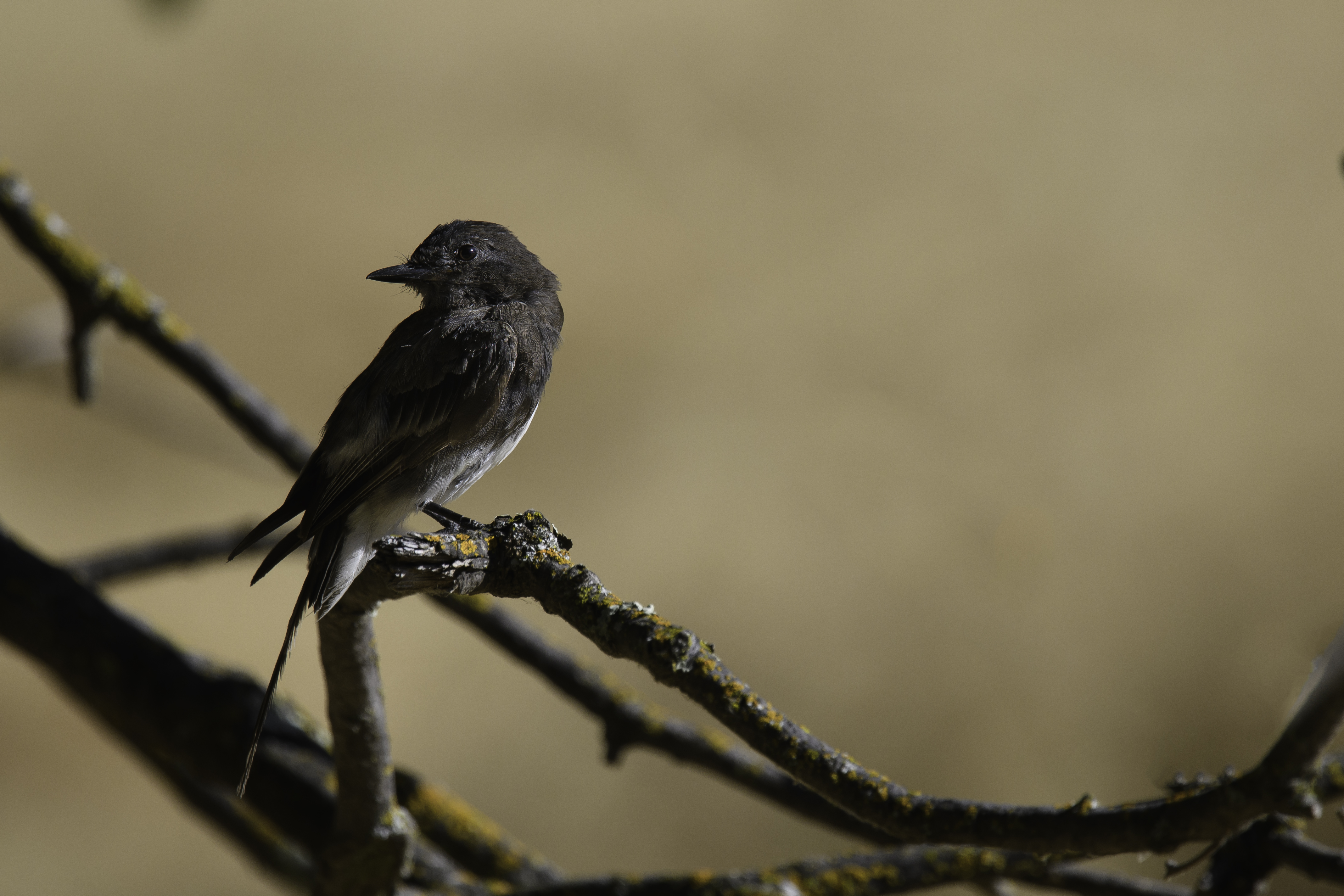 Black Phoebe PS