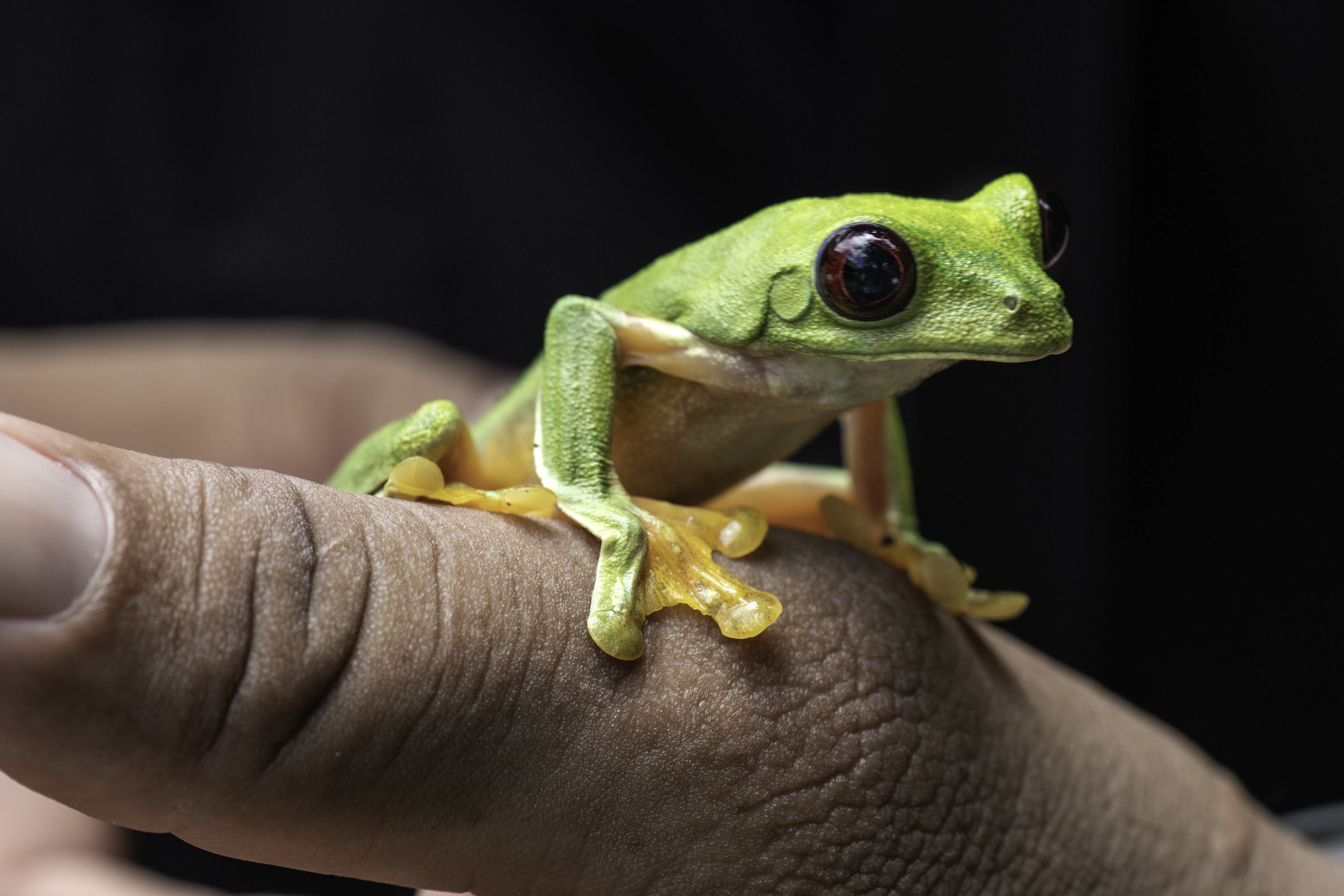 Spurrell's Leaf Frog on thumb