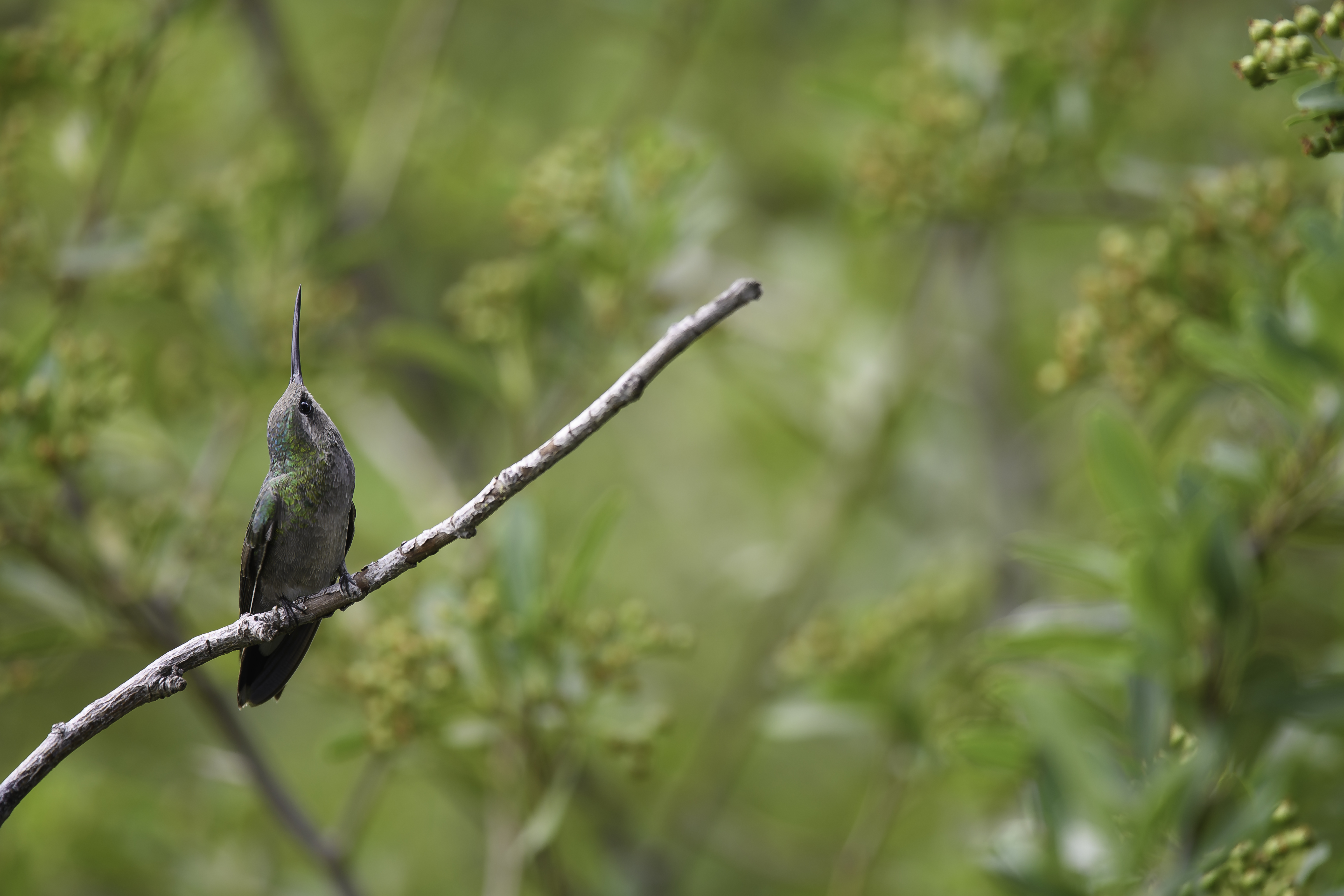 Wary Female BRoadbilled hummer.jpg