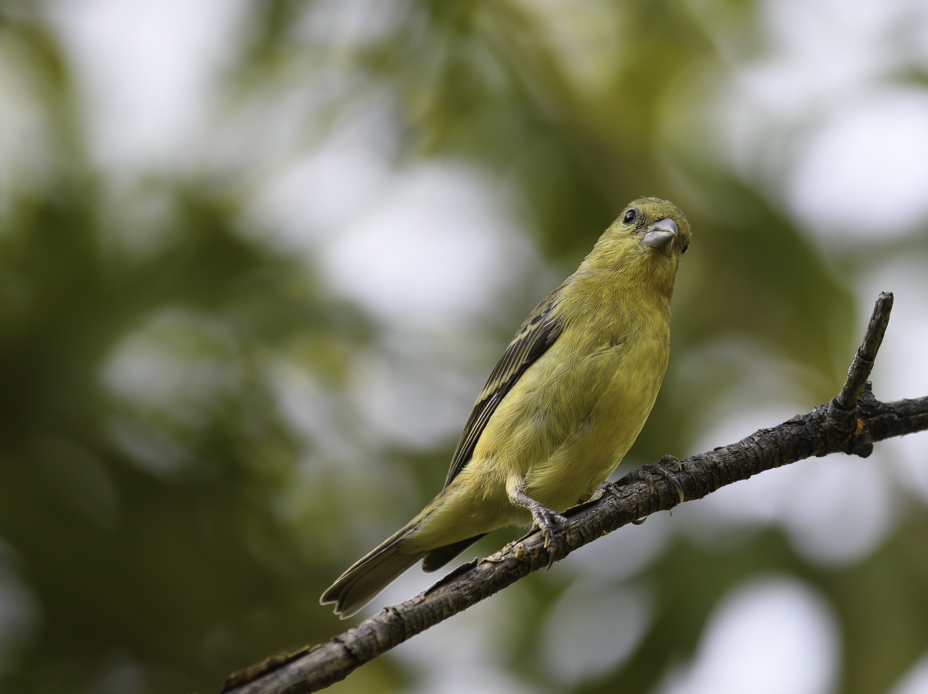 lesser goldfinch female.jpg