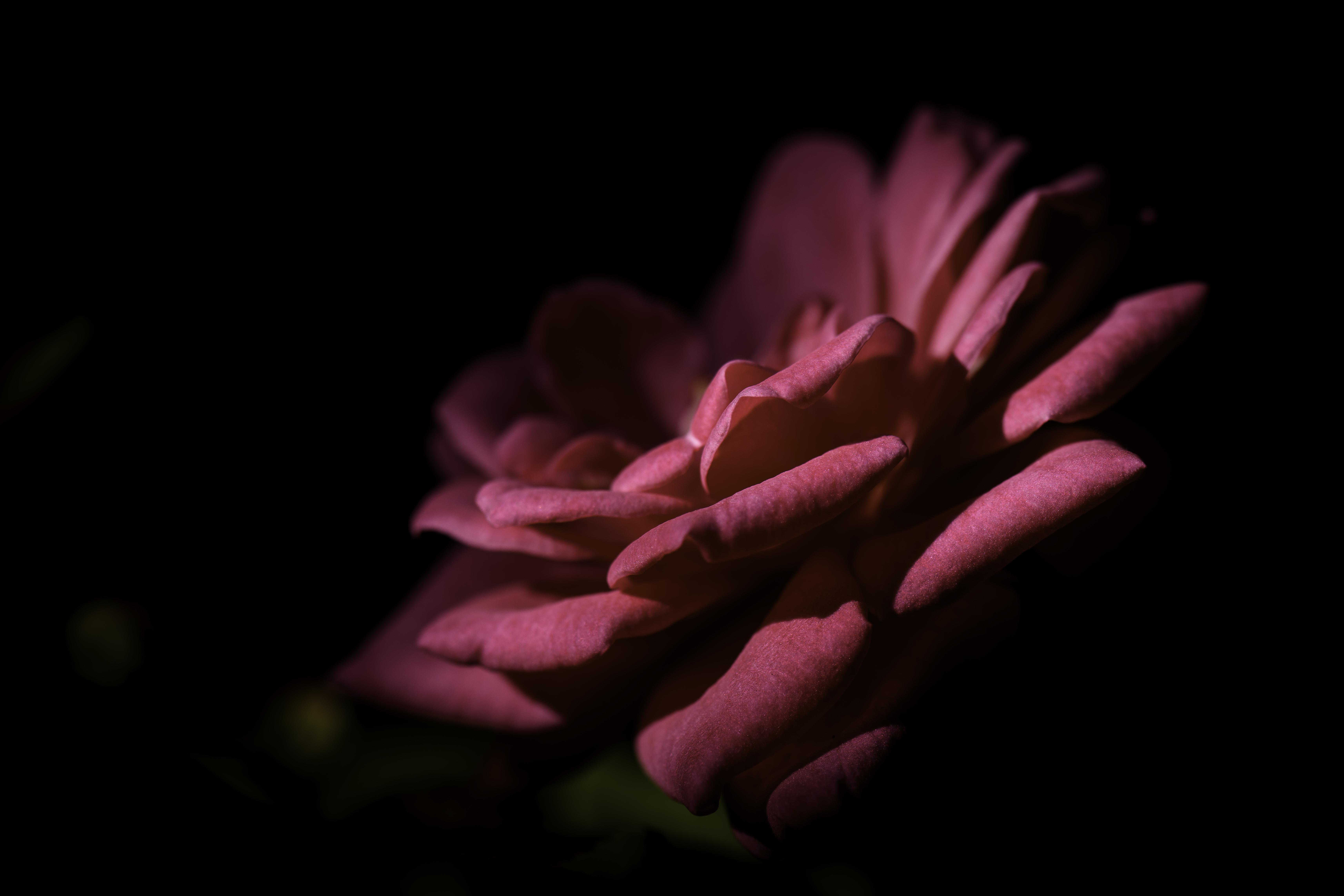 morning rose winsome.jpg