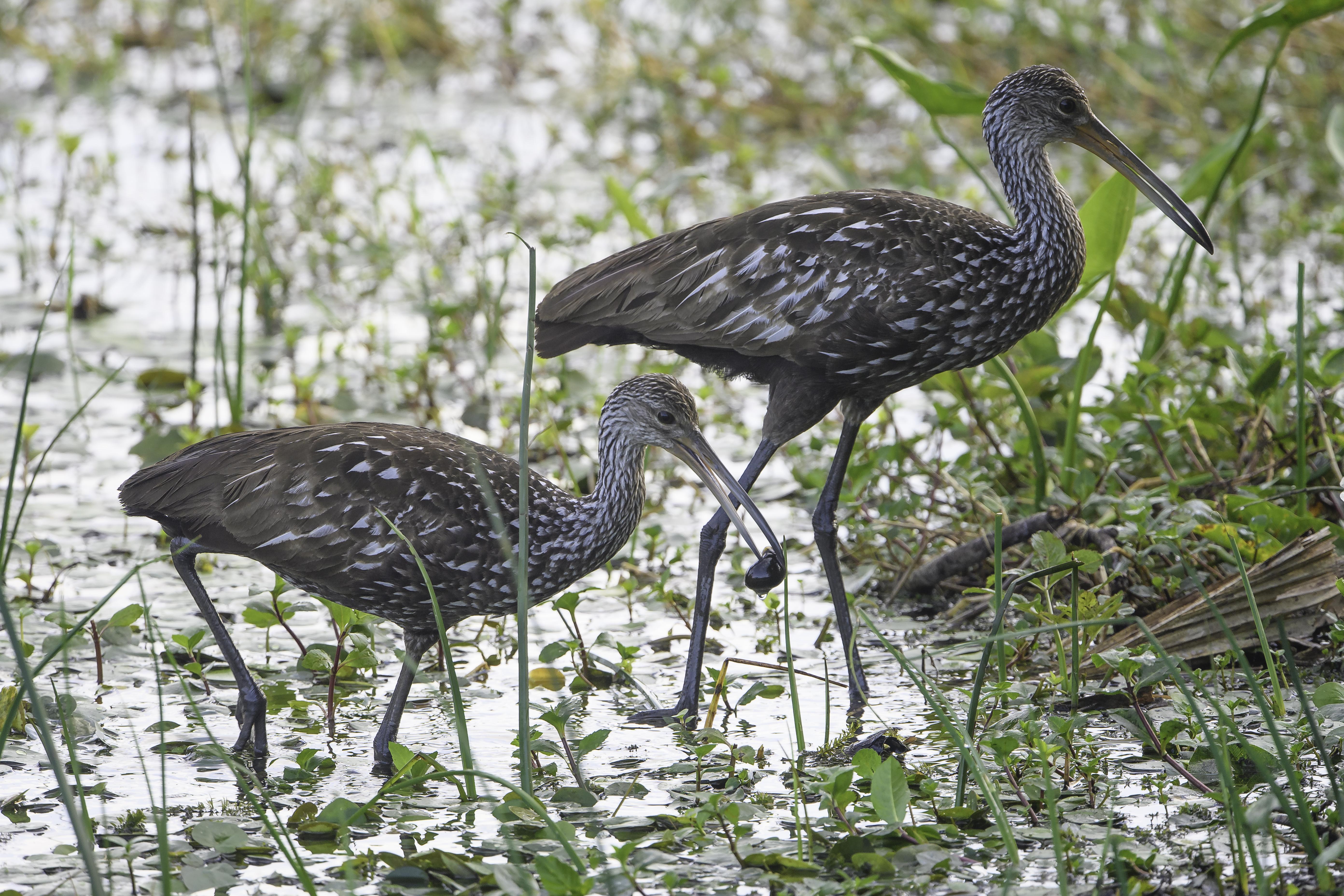 Florida Birds Day 4 00138-1